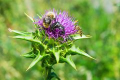 The purple flower is a medicinal plant Silybum marianum with leaves,. Natural background stock image