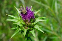The purple flower is a medicinal plant Silybum marianum with leaves,. Natural background royalty free stock photos