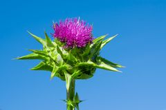 The purple flower is a medicinal plant Silybum marianum with leaves,. Natural background royalty free stock photography