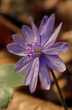 Mountain Purple flower - Hepatica transsilvanica. Spring background stock images