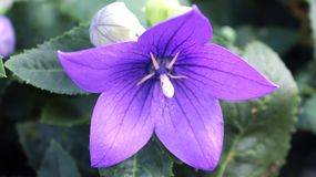 Purple flower in my garden royalty free stock image