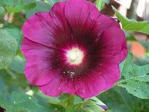 Purple flower in the garden. Purple flower in my organic garden stock photo