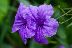 Purple flower. Named wild petunias or ruellias Royalty Free Stock Photo