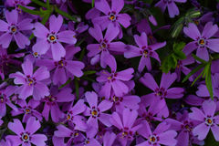 Purple flower. Natural background texture. Ideal for use in the design fairly. Purple flower. Natural background texture. Ideal for use in the design fairly Royalty Free Stock Images