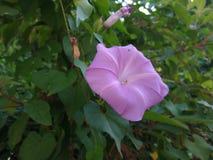 Purple flower natural plant pentagon. Purple flower like a pentagon natural shape stock photo
