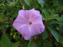 Purple flower natural plant pentagon. Purple flower like a pentagon natural shape royalty free stock image