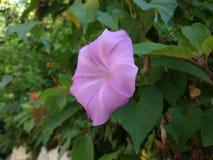 Purple flower natural plant pentagon. Purple flower like a pentagon natural shape stock photos