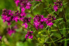 Purple flower in nature, spring flowers, blooming flowers, flora Royalty Free Stock Images