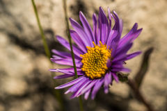 Purple flower in nature, spring flowers, blooming flowers, flora Royalty Free Stock Image