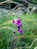 Purple flower with needlegrass Royalty Free Stock Image