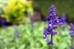 Purple flower. Royalty Free Stock Photos