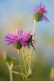 Purple flower. Once of tipical flower in tuscany's summer Royalty Free Stock Image