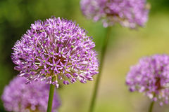 Purple flower of onion Stock Photo