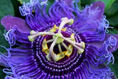 Purple flower of passion vine, Passiflora. The complicated and beautiful purple flower of Passiflora, the Passion vine. Passiflora, known also as the passion royalty free stock photos