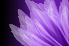 Purple Flower Petals. Thin lavender flower petals on purple background paper royalty free stock photography