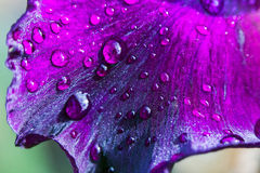 Purple flower petals with water drops on it. Close up.  Royalty Free Stock Photos