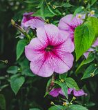 Purple flower Petunia with green leaves royalty free stock photography