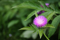 The purple flower. On this photo you can see a flower Royalty Free Stock Photography