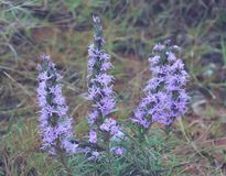 3 purple flower plants in red dirt at the park Royalty Free Stock Images