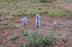 3 purple flower plants in red dirt at the park Royalty Free Stock Photos