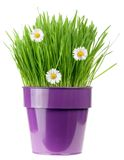 Purple flower pot Stock Photos