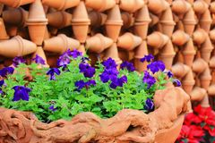 Purple flower in pot Royalty Free Stock Photography