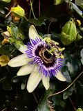 Purple flower in pub Stock Images