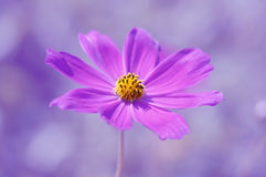 Purple flower on a purple background. Cosmos flower closeup. Stock Image