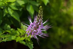 Purple flower of Purple Cat`s Whiskers growing in tropical area. Orthosiphon aristatus stock image
