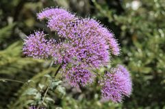 Purple flower. Of great elegance Royalty Free Stock Photography