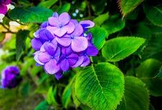 Purple Hydrangea Royalty Free Stock Photography
