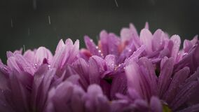Purple Flower With Rain Drops Stock Photos