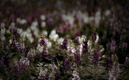 Purple flower in the rain Royalty Free Stock Photo