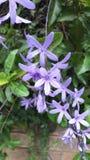 Purple flower. Rainy season purple flower Stock Image