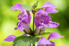 Purple flower of red dead nettle Stock Image