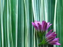 Purple Flower on Ribbon Grass. Closeup of purple flowers laying on a background of white and green striped ribbon grass stock image