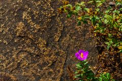 Purple flower on rock. Purple wild flower on a rock in the forest with some plants in the surrounding Stock Photo