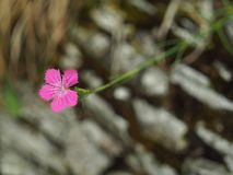 Purple flower on a rocky slope Stock Photos