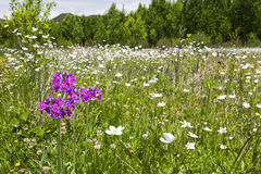 Purple Flower in Sea of White Flowers Royalty Free Stock Photo