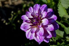 Purple Flower Shallow Focus Photography Royalty Free Stock Photo