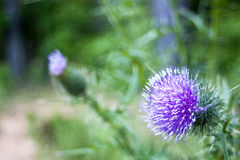 Purple Flower. In sharp focus against blurry background stock image