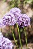 Purple Flower. In, sharp focus against blurry background stock photos
