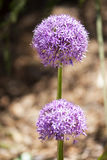 Purple Flower. In, sharp focus against blurry background royalty free stock photography
