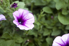 Purple Flower. In, sharp focus against blurry background royalty free stock image