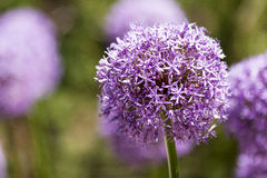 Purple Flower. In, sharp focus against blurry background royalty free stock images
