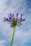 Purple flower with sky at background Royalty Free Stock Photography