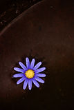 Purple Flower Spa. Purple Flower on Spa Water and stone Royalty Free Stock Images