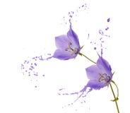 Purple flower splashes Royalty Free Stock Image