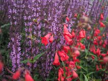 Purple flower stems, Salvia Serenade, with red fuschias royalty free stock image
