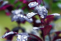 Purple flower with stunning droplets!! Royalty Free Stock Image